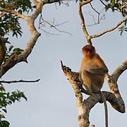 Proboscis monkey in Tanjung Puting National Park. Central Kalimantan region, Borneo.