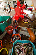 An Icelandic cod fisherman cleans fish in the belly of a boat near the small port of Sandgerdi on the western side of Reykjanes peninsula, Iceland. Although their craft is small, their large nets are mechanized. They monitor the casting then drink coffee and eat bread and fruit in the boat's galley until it's time to  haul in the bounty. They clean the fish in the belly of the ship, toss the guts, and then, after repeating this cycle many times for 8 hours, head for port. The fishermen take a fish or two home each day, along with their pay.