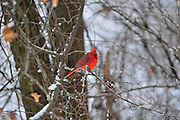 Photo of a male Northern Cardinal in winter.
