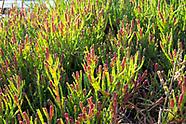 Amaranthaceae (Amaranth Family)