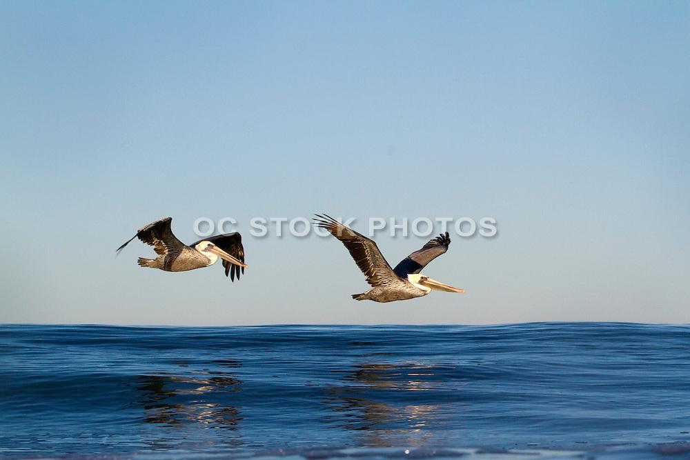 Brown Pelicans Flying over the the Ocean in Orange County