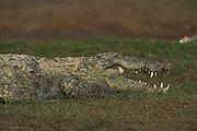 Mugger crocodile (Crocodylus palustris)<br /> National Chambal Sanctuary or National Chambal Gharial Wildlife Sanctuary<br /> Madhya Pradesh, India<br /> Range: Indian Subcontinent & surrounding countries.<br /> VULNERABLE