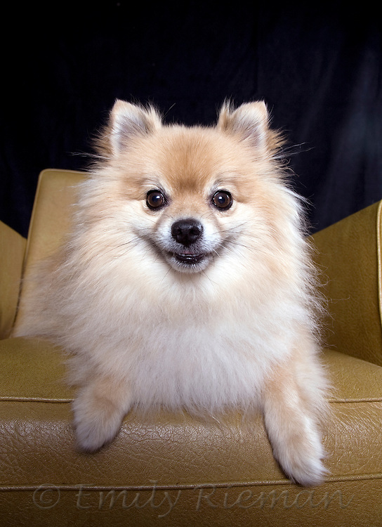 Smiling pomeranian on gold chair