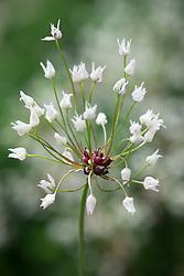 Seedhead of Allium unifolium. American onion