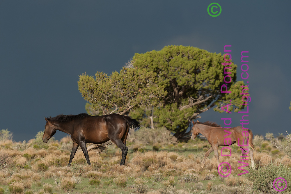Mare and fillie on hillside with juniper tree, stormy sky, northeastern New Mexico, © David A. Ponton