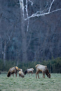 Elk grazing in a valley along the Buffalo National Scenic River in Arkansas