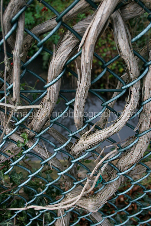 Climbing plant inter-weaving its way through chain link fence in Dublin Ireland