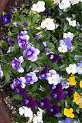 Tub of multicolored pansies. Grand Old Day St Paul Minnesota USA