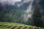 Jack London State Historical Park, in Glen Ellen, California (Sonoma County). Vineyards and forest in the rain.