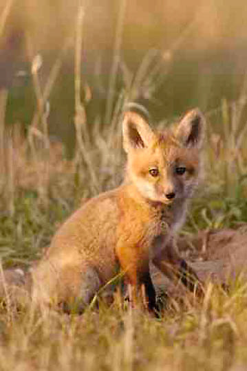 Red Fox kit, (Vulpus fulva) near den. Spring. Montana.