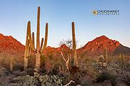 Saguaro Cactus at sunset in Saguaro National Park, Arizona, USA
