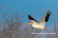 00671-01016 American White Pelican (Pelecanus erythrorhynchos) in flight Clinton Co.  IL