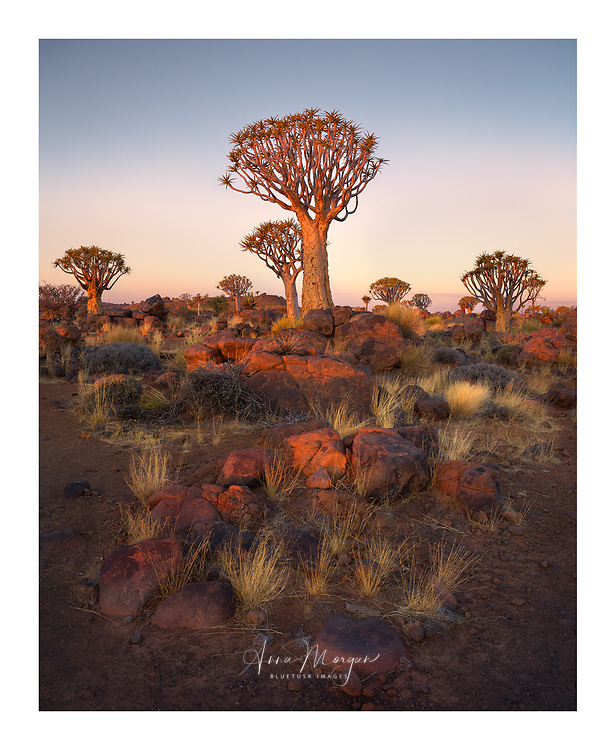 Quiver trees bathed in warm golden light at sunset, near Keetmanshoop, Namibia
