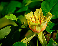 Tulip Tree flower. Image taken with a Fuji X-T3 camera and 80 mm f/2.8 OIS macro lens