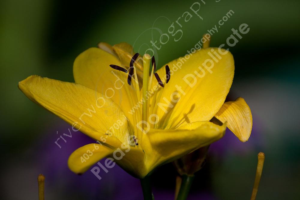 Yellow Daylily Macro