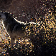 Gray Wolf (Canis lupus) adult howling in the Rocky Mountains during the winter. Captive Animal