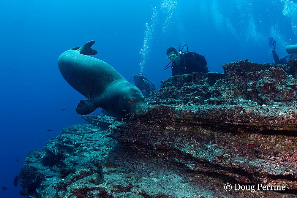 scuba divers observe Hawaiian monk seal, Monachus schauinslandi ( critically endangered and endemic to Hawaiian Islands ), Lehua Rock, near Niihau, off Kauai, Hawaii, USA ( Central Pacific Ocean )