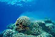 annual spawning of cauliflower coral,<br /> Pocillopora meandrina,<br /> Kona, Hawaii, USA ( Pacific )