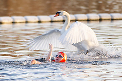 © Licensed to London News Pictures. 03/01/2017. London, UK. A swan flies over a man swimming in The Serpentine Lake in Hyde Park, London on a frosty morning as temperatures in the capital drop below zero celsius on Tuesday, 3 January 2017. Photo credit: Tolga Akmen/LNP