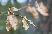 Oak (Quercus robur) leaves in autumn - still hanging on branches, Tīreļpurvs, Zemgale, Latvia Ⓒ Davis Ulands   davisulands.com
