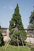 Bamboo supported tree, in the Forbidden Purple City, Hue Citadel / Imperial City, Hue, Vietnam
