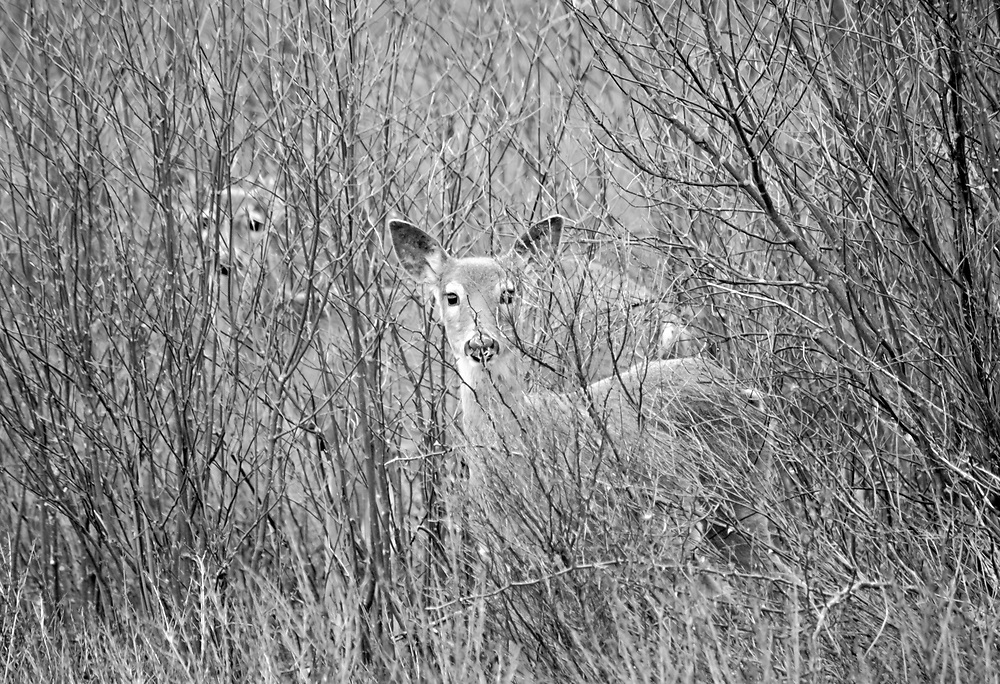 Deer trying to blend into the backgroung as best they could.  I think this is one of my favorite deer shots to date.