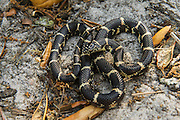 Eastern kingsnake (Lampropeltis getula) CAPTIVE<br /> Little St Simon's Island, Barrier Islands, Georgia<br /> USA