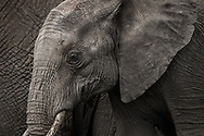 Teen elephant quietly learns the ways of life from family in Lewa, Kenya.