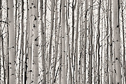 """SHOT 10/3/14 11:22:02 AM - Trunks of aspen trees along Kebler Pass just outside of Crested Butte, Co. Aspens are trees of the willow family and comprise a section of the poplar genus, Populus sect. Populus. The Quaking Aspen of North America is known for its leaves turning spectacular tints of red and yellow in the autumn of the year (and usually in the early autumn at the altitudes where it lives). This causes forests of aspen trees to be noted tourist attractions for viewing them in the fall. These aspens are found as far south as the San Bernardino Mountains of Southern California, though they are most famous for growing in Colorado. Autumn leaf color is a phenomenon that affects the normally green leaves of many deciduous trees and shrubs by which they take on, during a few weeks in the autumn months, one or many colors that range from red to yellow. The phenomenon is commonly called fall colors and autumn colors, while the expression fall foliage usually connotes the viewing of a tree or forest whose leaves have undergone the change. In some areas in the United States """"leaf peeping"""" tourism between the beginning of color changes and the onset of leaf fall, or scheduled in hope of coinciding with that period, is a major contribution to economic activity.<br /> (Photo by Marc Piscotty / © 2014)"""