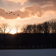Red-crowned cranes flying against the evening sunset, Kushiro, Japan