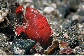 Frogfish & Leaf Fish