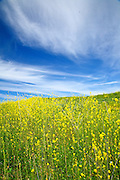 Rolling Hills Of Wild Mustard Plants