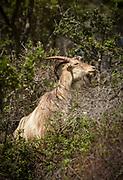 Portrait of goat feeding on tree branch, Calanches de Piana, Corsica, France