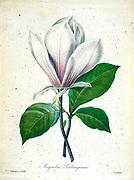 19th-century hand painted Engraving illustration of a Magnolia soulangiana (Chinese magnolia) flower, by Pierre-Joseph Redoute. Published in Choix Des Plus Belles Fleurs, Paris (1827). by Redouté, Pierre Joseph, 1759-1840.; Chapuis, Jean Baptiste.; Ernest Panckoucke.; Langois, Dr.; Bessin, R.; Victor, fl. ca. 1820-1850.