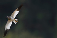Grey-headed lapwing, Vanellus cinereus, winter plumage, flying in the air of Yangxian Nature Reserve, Shaanxi, China
