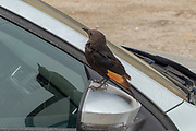 Israel, Dead Sea, male Tristram's Starling or Tristram's Grackle (Onychognathus tristramii)<br />  being fed by tourists
