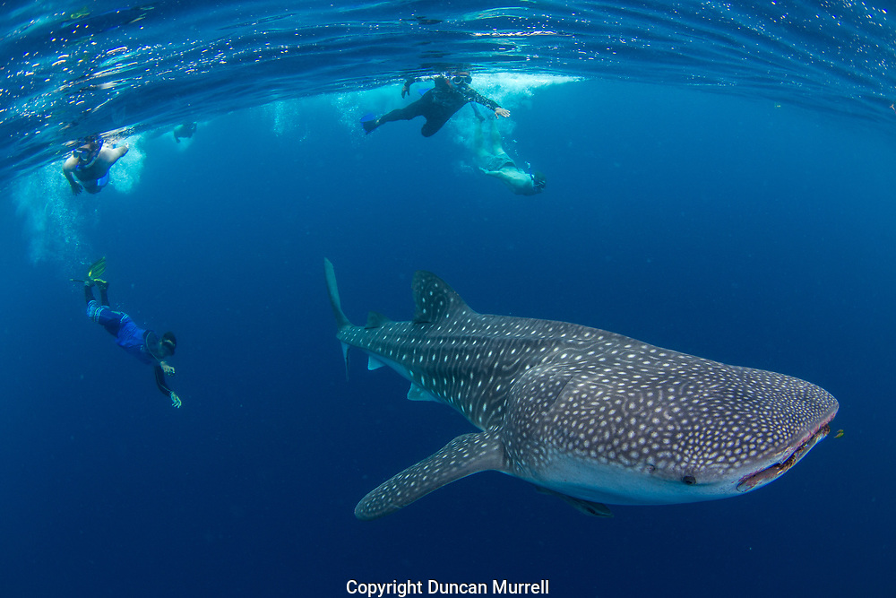 Tourists and guide swimming with whale shark (Rhincodon typus), Honda Bay, Palawan, the Philppines.