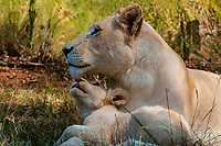 White lion mother lion and her cub relaxing in the shade. Lion Park, near Johannesburg, South Africa. The white lion The white lion is a rare color mutation of the Timbavati region of South Africa.