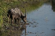 Wild Asian buffalo (Bubalus arnee)<br /> Wild water buffalo<br /> Asiatic buffalo<br /> Kaziranga National Park<br /> Assam<br /> North East India<br /> UNESCO World Heritage Site<br /> ENDANGERED