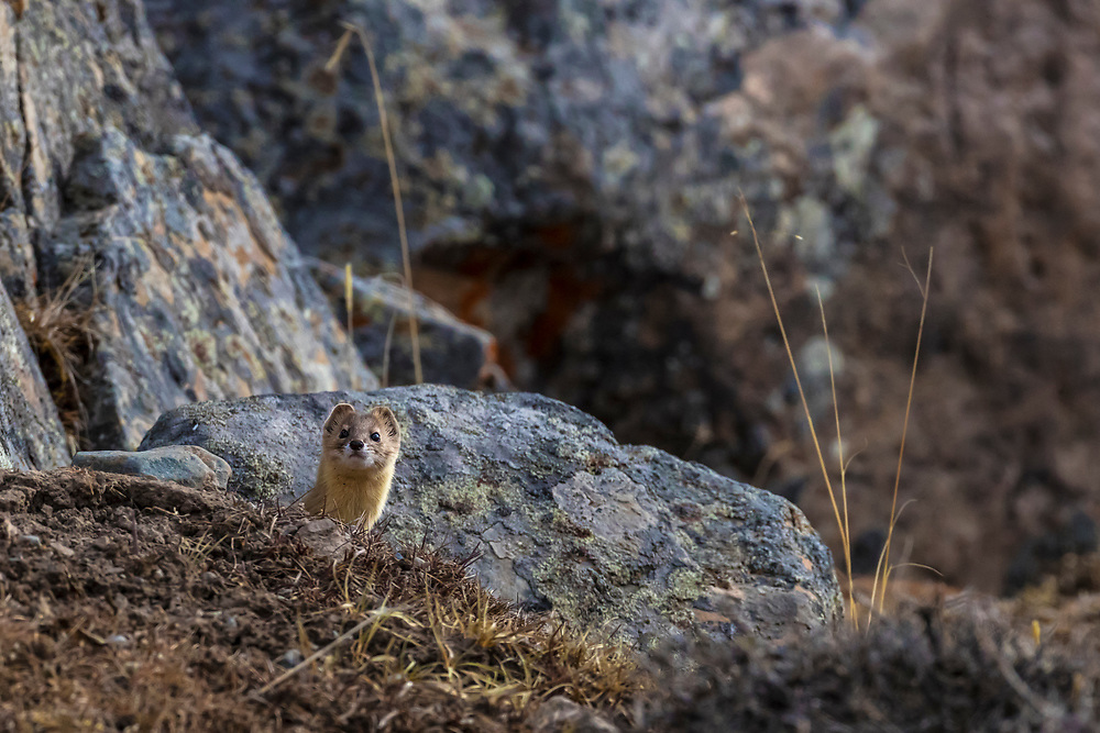 Mountain Weasel, Mustela altaica, on the ground, Xiang You, 香鼬。<br /> China, Sichuan Province, Garze Prefecture, Serxu County.
