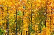 Autumn in aspen forest<br /> Elk Island National Park<br /> Alberta<br /> Canada<br /> Elk Island National Park<br /> Alberta<br /> Canada
