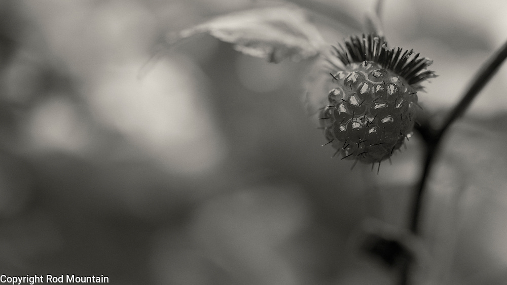 A wild raspberry is captured on a rainy day near Spanish Banks Beach Park in Vancouver, B.C. Photo: © Rod Mountain