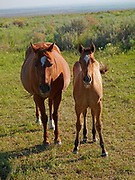 Mare with colt, horses on ranchlands along the Strevell Road just north of the Utah border, Cassia County, Idaho.