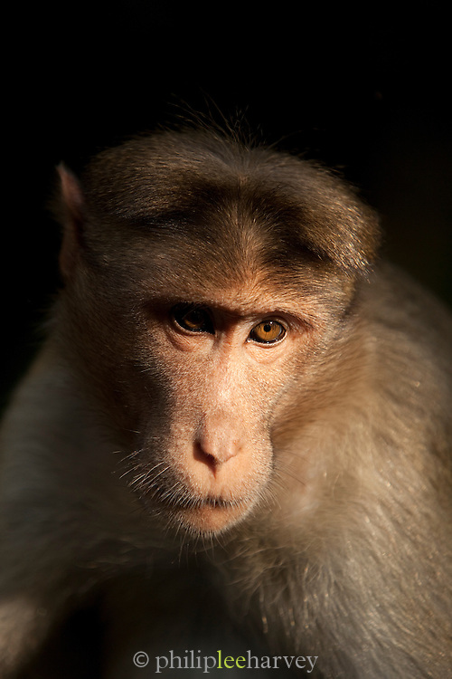 Bonnet macaque seen in the hills near to Wayanad in Kerala, India