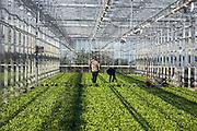 Nederland, Horst, 16-10-2003..Kropsla in tuinbouw kas. Verse groente, glastuinbouw Noord Limburg, slaplanten, sla teler, slateelt..Foto: Flip Franssen/Hollandse Hoogte