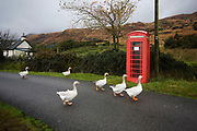 "A gaggle of six geese waddle down the single-track past Sarah Leggitt's estate cottage, a former Smithy with livestock at Lochbuie, Isle of Mull, Scotland. She and her husband moved from southern England 6 years ago to work for the Lochbuie Estate and the old Smithy is provided to them as living accommodation. Lochbuie is a settlement on the island of Mull in Scotland about 22 kilometres (14 mi) west of Craignure. The name is from the Scottish Gaelic Locha Buidhe, meaning ""yellow loch"". http://lochbuie.com/Lochbuie"