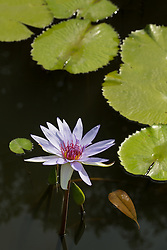 Water Lily, Purple #18