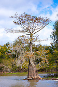 Bald cypress tree deciduous conifer, covered with Spanish Moss, showing high water marks, Atchafalaya Swamp, Louisiana USA