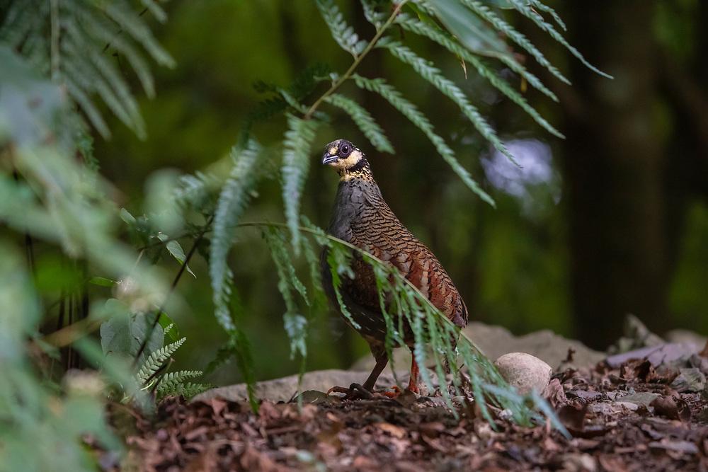 Taiwan partridge, Arborophila crudigularis, Dasyueshan National Recreational Forest, Taiwan. Endemic species