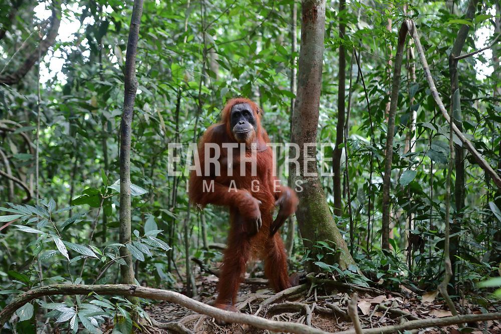 Sumatran orangutans, in the Leuser Ecosystem, Sumatra, Indonesia. Photo: Paul Hilton / Earth Tree